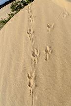 Goanna tracks, Thurra Camp, Croajingolong NP