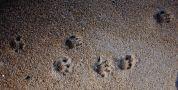Tasmanian Devil footprints