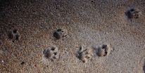 Tasmanian Devil footprints