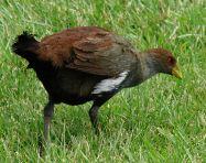 Tasmanian Native Hen