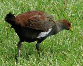 Tasmanian Native Hen