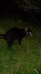 Tassie Devil at Trial Harbour