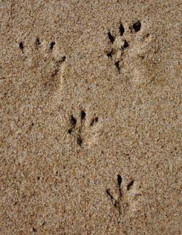 Tasmanian Devil tracks