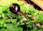 Carnivorous Black Ottway Snail
