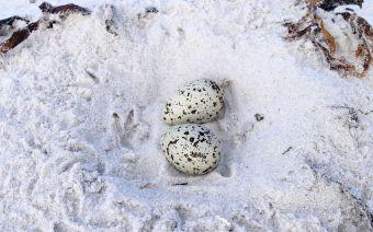 Hooded Plover Eggs