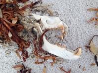 Dead seal skull