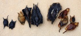 Shark and ray egg cases