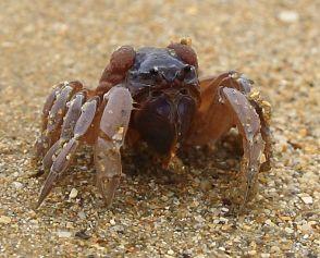 Soldier Crab close-up