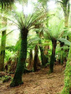 Tree Fern Forest