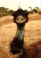 Mohawk Emu