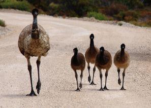 Emu family