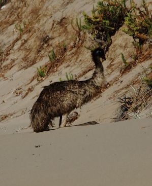 Emu on the Beach