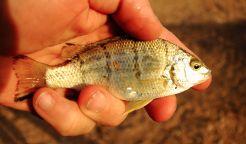 Fish from waterhole