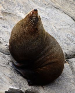 Long nose fur seal