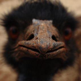 Emu - pointy end
