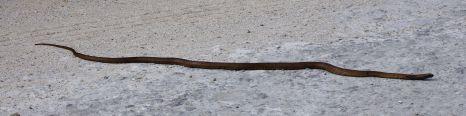 Snake at Pondalowie