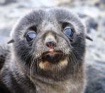 Fur Seal Pup