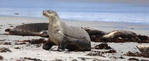 Seal Bay resident