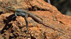 Tawny Dragon