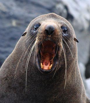Fur seal yawn