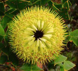 Banksia flower