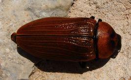 Desert cockroach