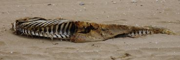 Dead Dolphin on the beach