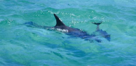 Mother and baby dolphin