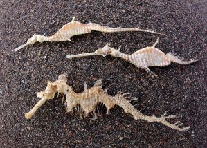 Seadragons washed up on the beach
