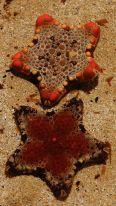 Rockpool starfish