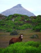 Brumby in front of Frenchmans Peak