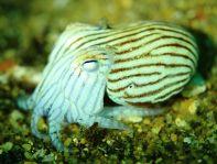 Dumpling Squid