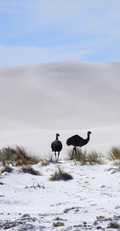 Emus in dunes at Dunn Rock