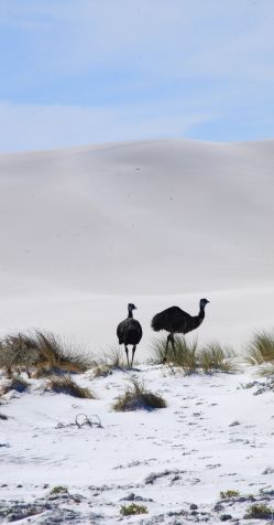 Emus in dunes at Dunn Rock