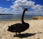 Black Swan, Swan river !