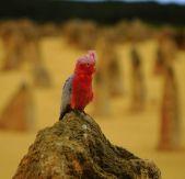 Galah in the Pinnacles