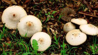 Mushrooms emerging