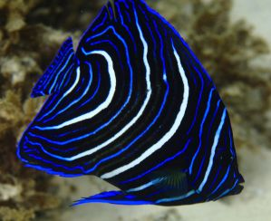 Juvenile Angelfish