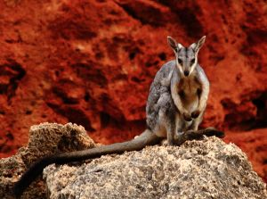 Black footed Rock Wallaby