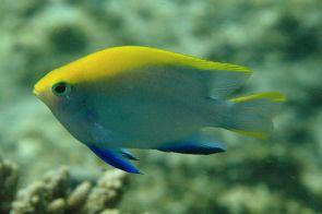 Ningaloo Reef Damselfish