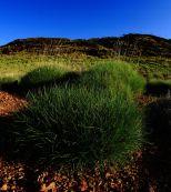 Pilbara spinifex