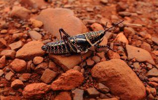 Pilbara grasshopper