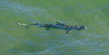 Shark at Skipjkack Point