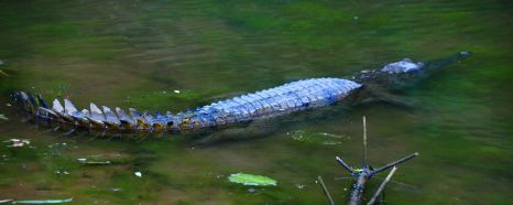 Freshwater crocodile at Winjana Gorge