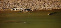 Windjana Crocodiles