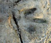 Gantheaume Point dinosaur footprint