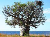 Boab and eagle nest, Honeymoon Bay
