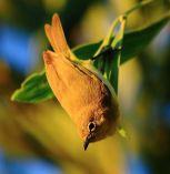 Yellow Whiteeye