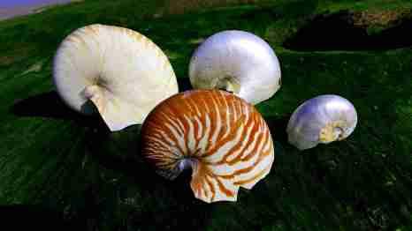 Chambered nautilus shells