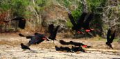 Red tailed black cockatoos